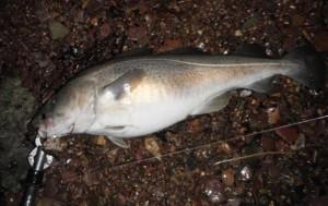6.5 lb cod - 18th january 2014