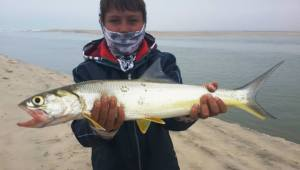 Ladyfish caught in 2013 while accompanying my  Father on a genetic fish survey at the mouth of the Kunene river, Namibia