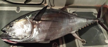 Bluefin on the deck