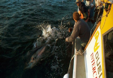 A good bluefin comes to the side of the boat