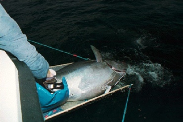 Tuna being safely released