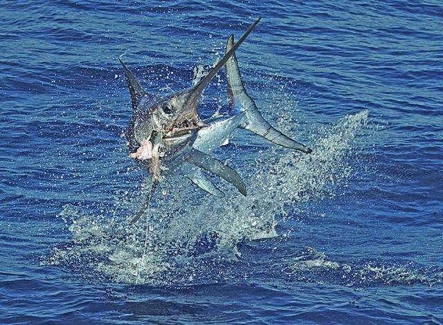 Declan's new target swordfish