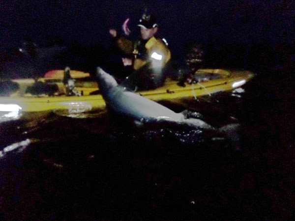 Graham was the first  Irish or UK angler to catch a blue shark from the kayak and this is his best blue