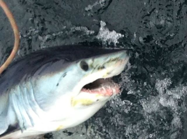 Mako shark off Union Hall