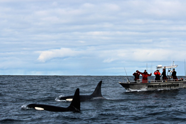 A pod of killer whales escorting the Nordic sea angling boat