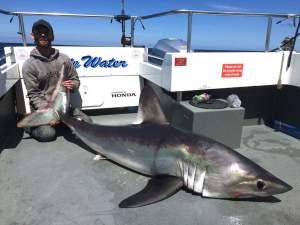 210lb porbeagle shark