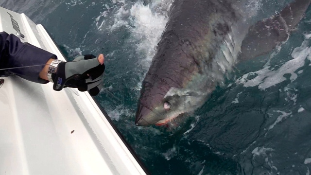 380 lb porbeagle at the side of the boat